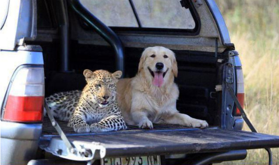 friends-cheetah-labrador-dog1