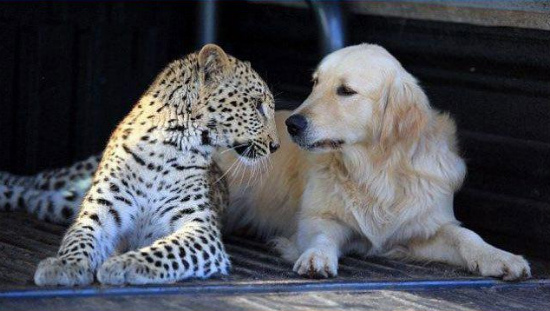 friends-cheetah-labrador-dog2